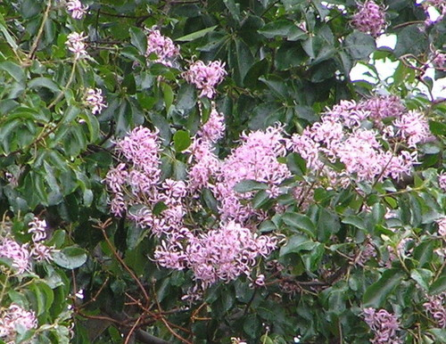 Tree With Pale Pink Flowers