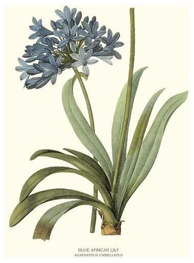 Vintage Botanical Flower Art Print Blue African Lily