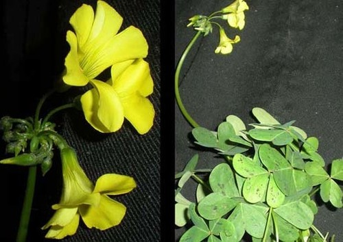 Yellow clover weed zo24 roccommunity ideal weed with yellow flowers and clover like petals wh47 mightylinksfo