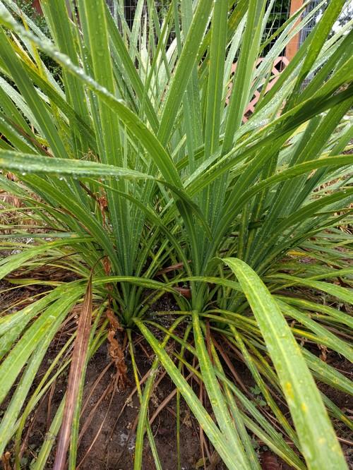 Top 28 spiky plants names spiky plant jakeline flickr for Spiky ornamental grasses