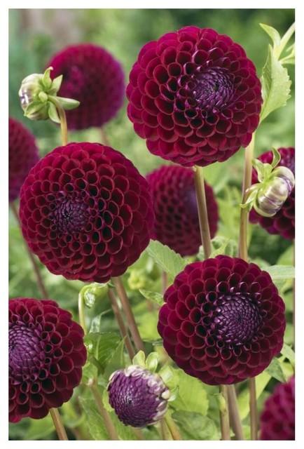 Dahlia Downham Royal Variety Flowers Paper Print By