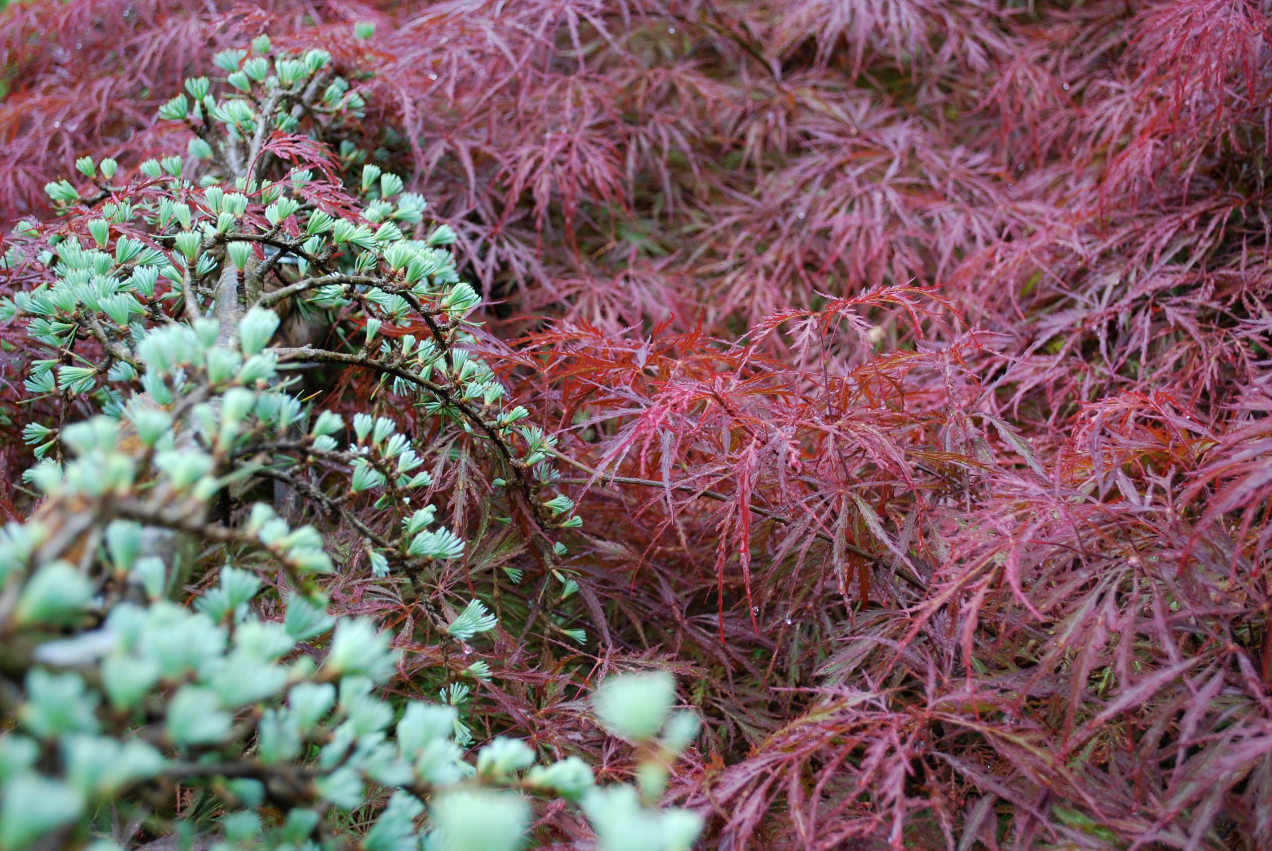 Foliage:  blue atlas cedar and Japanese maple