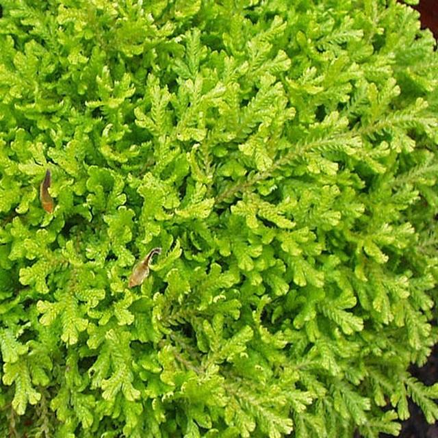 Miniature Fairy Garden Selaginella, Golden, Club Moss