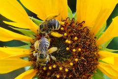 12 Entertaining 'Bee-haviors' of Native Bees