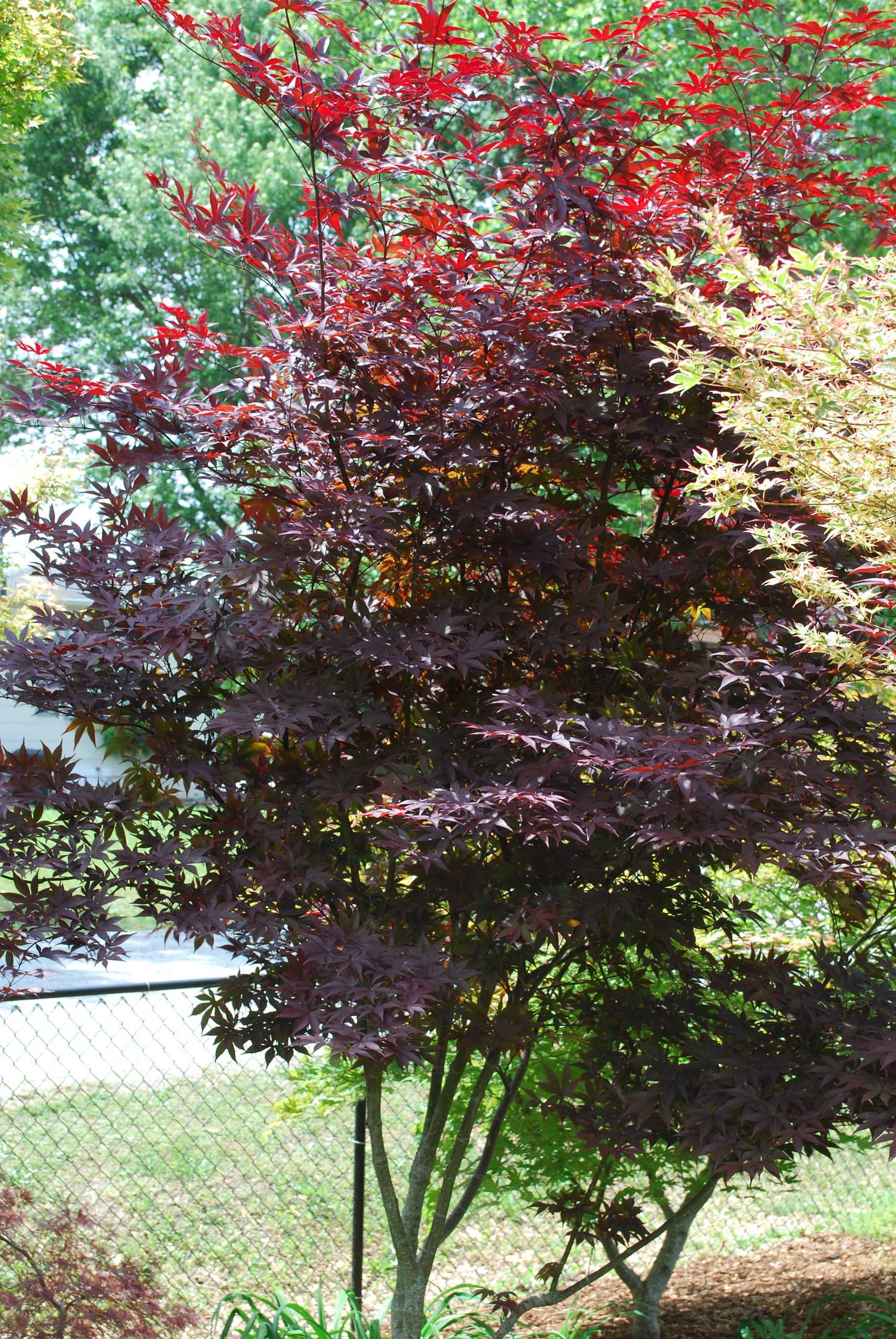 Acer palmatum 'Red Emperor' (Emperor 1)
