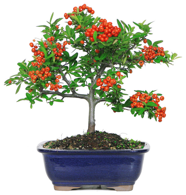 Dwarf Pyracantha Bonsai Tree Asian Plants By Brussel