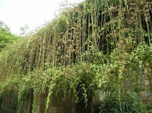 Any Place To Buy Vernonia Elaeagnifolia Curtain Creeper