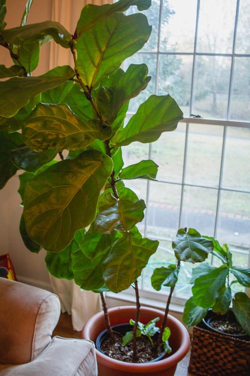 Fiddle Leaf Fig Problems Like 8 Of Them