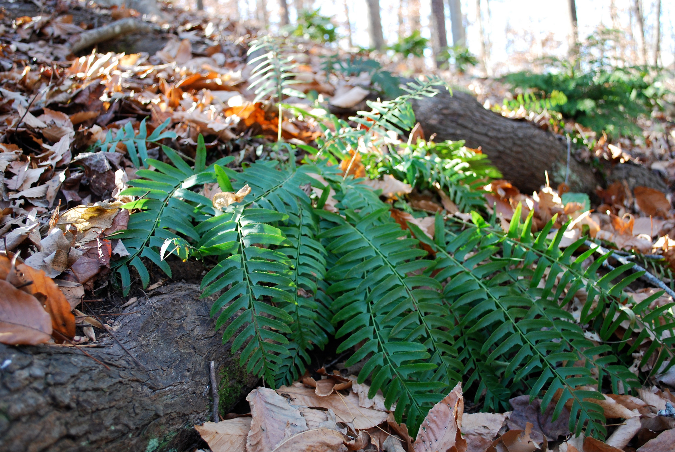 Christmas fern growing in situ