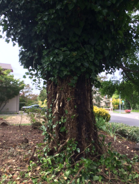 What are the treatments for fungus in evergreens?