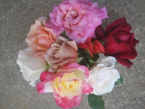 Las mejores rosas para Carolina del Norte | Triangle Gardener Magazine