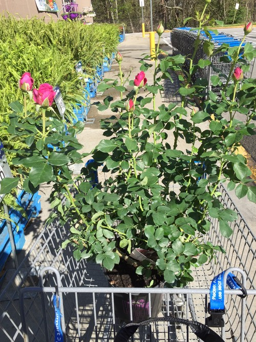 Gorgeous roses at wal mart today i have been searching high and low for cream veranda with no joy today i did find and bring home miranda lambert and first crush this was the walmart in mightylinksfo