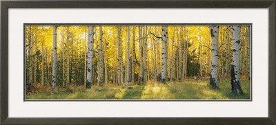 Aspen Trees In Coconino National Forest, Arizona, Usa By  Panoramic Images.