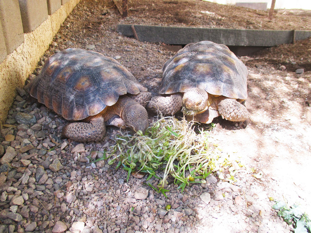 Amazing  Tortoises Take to Yard Life in Arizona