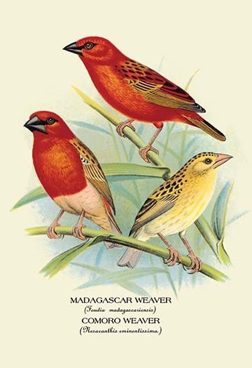 Madagascar Weaver Comoro Weaver Traditional Prints And Posters By Buyenlarge Inc