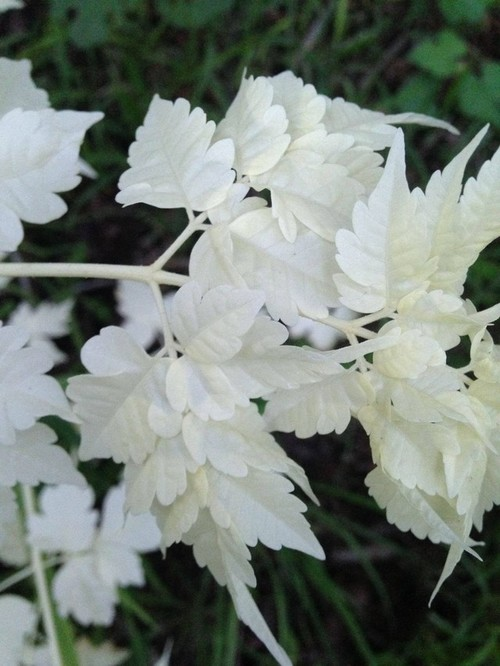 Possible Albino Plant Needs Id