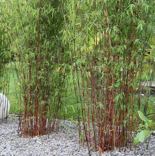 Red Stemmed Clumping Bamboo