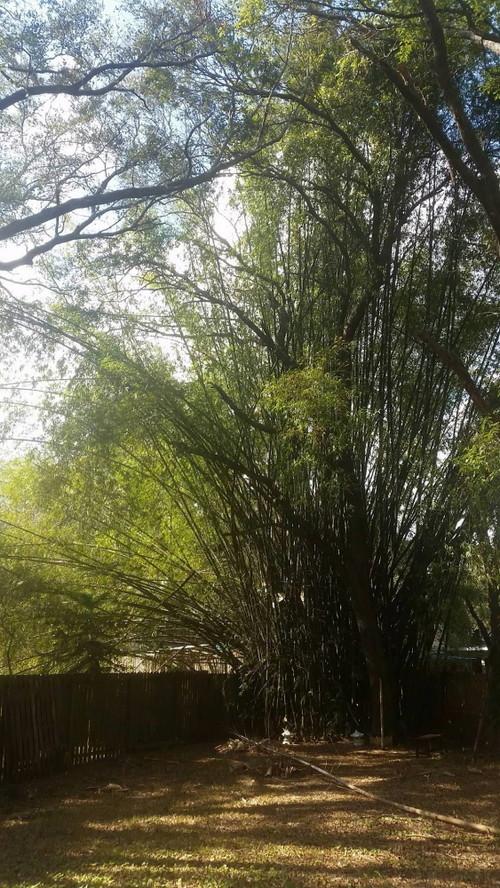 Need help identifying bamboo for 50ft garden design
