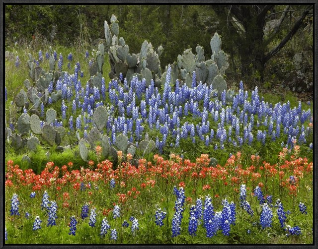 Global Gallery Bluebonnet And Pricky Pear Cactus View In Your Room Houzz