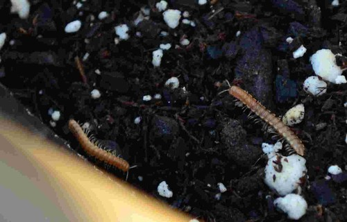 Are these millipedes and how do I rid of them