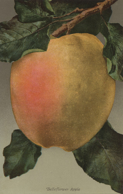 """Fruit Chromo Lithograph of Belleflower Apple Fruit"" Print, 9""x12"""