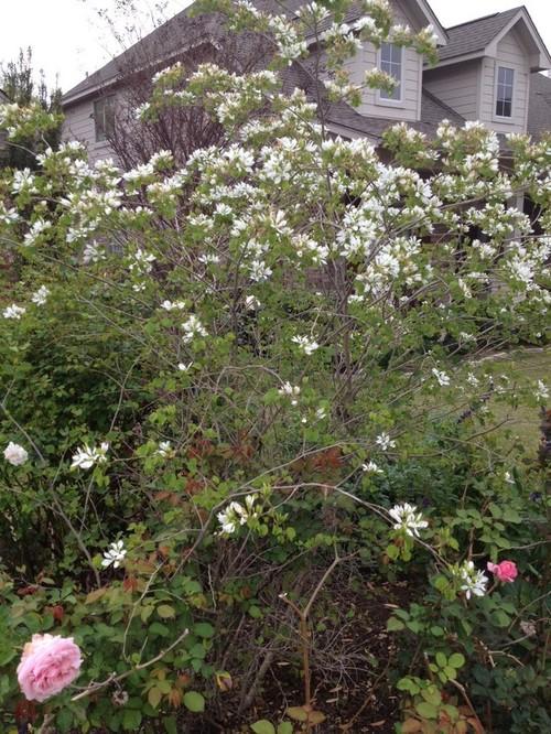 Austin tx small tree like white flowers this spring mightylinksfo