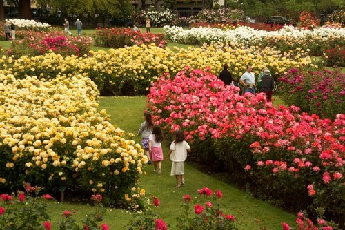 still blooming at the san jose municipal rose garden 2 bedroom apartments for rent in san jose ca trend home