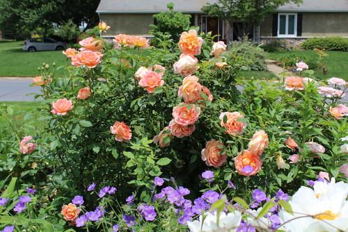 David Austin Rose Show In My Garden
