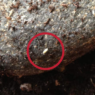Little White Bugs In Soil
