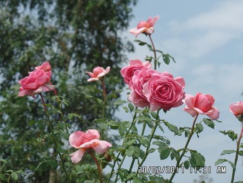 Hồng ngoại Kent trồng tại vườn