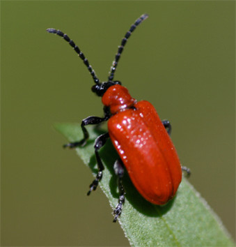 How Do I Keep The Red Lily Leaf Beetle From Destroying My