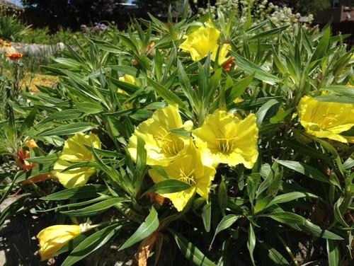 Mesmerizing 20 tall yellow garden flowers decorating design of 36 tall yellow garden flowers identify yellow flowers mightylinksfo