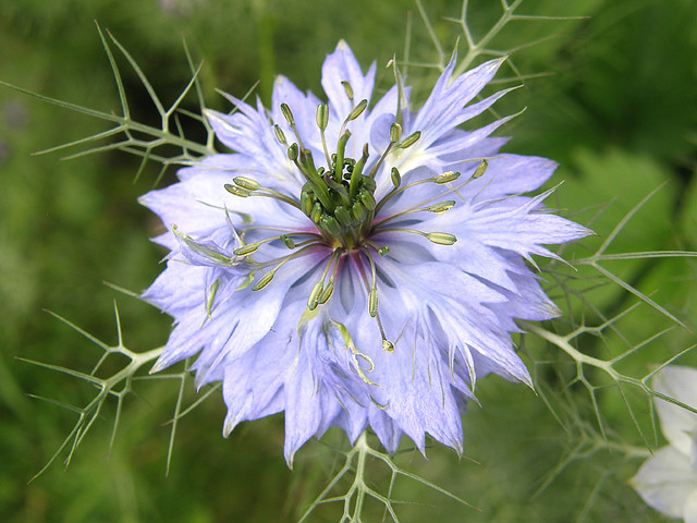 Nigelle de damas tropical other by jean claude jouault - Nigelle de damas ...