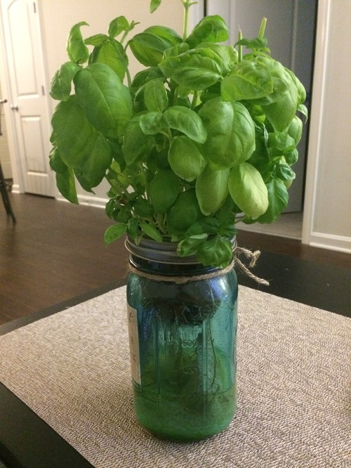 Indoor Self-Watering Basil Plant Dying?
