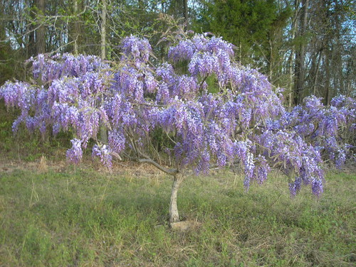 Im In LOVE With This Tree Want It Now Blue Chinese Wisteria - Beautiful wisteria plant japan 144 years old