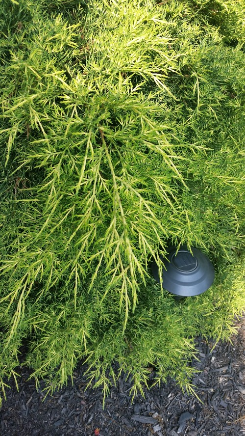 Super What kind of conifer bush is this??! *pics* GY36
