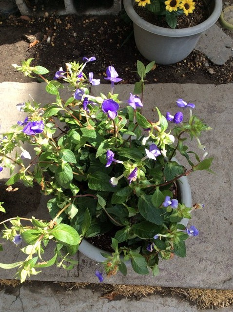 help identify plant with little purple flowers., Beautiful flower