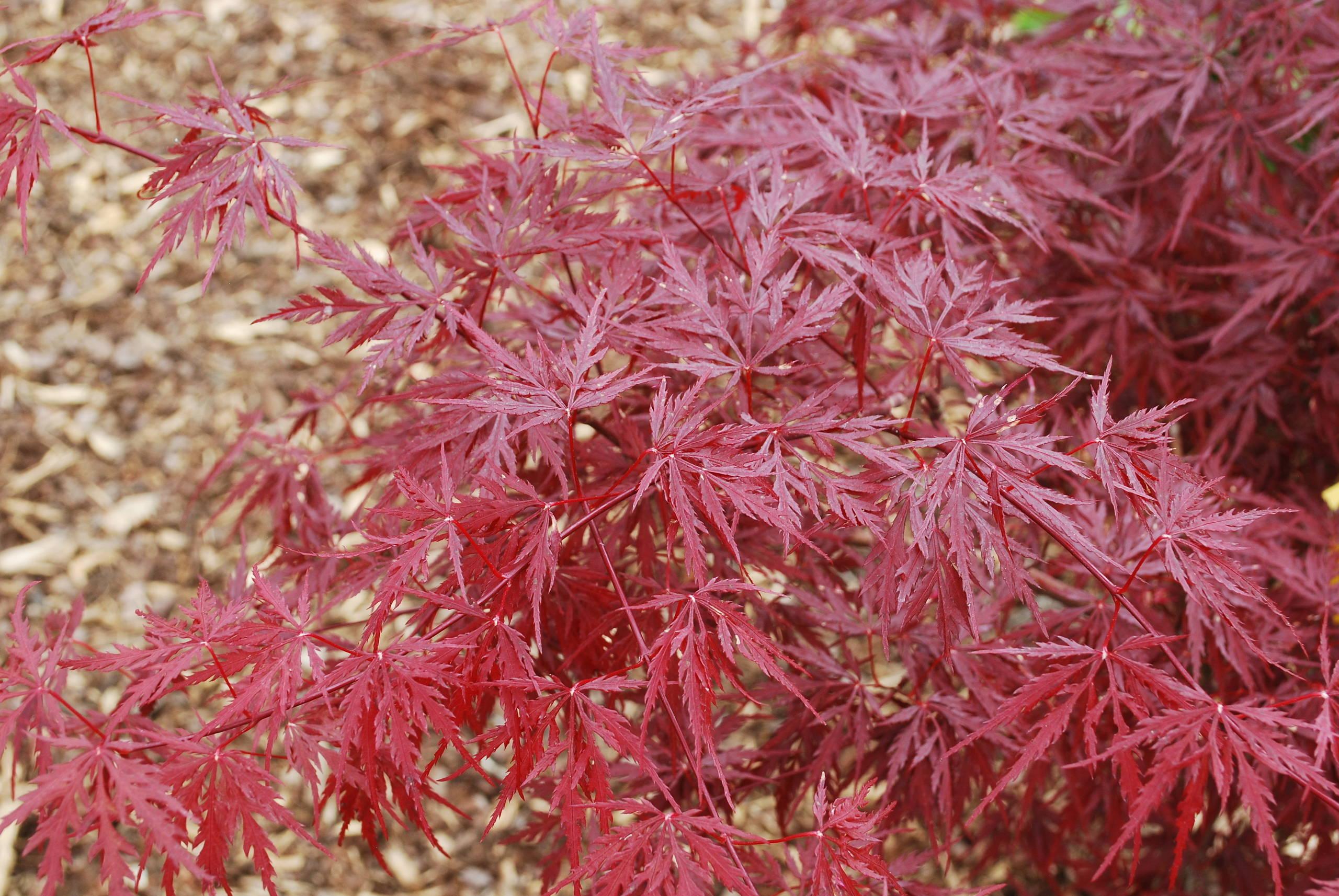 Acer palmatum 'Monticello Gardens'.