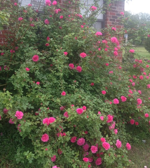 Love Garden Roses: Full Bush Shot Of Zephirine Drouhin, As Requested