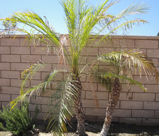 Please Help My Pygmy Date Palm Phoenix Roebelenii