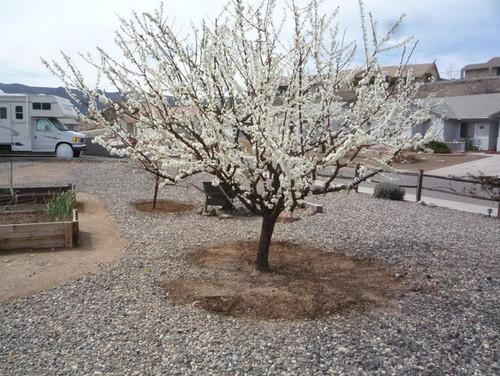 Satsuma Plum In Bloom