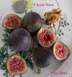 Ciccio Nero Ficus Carica fig