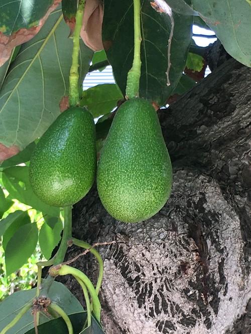 What Type Of Avocado Tree