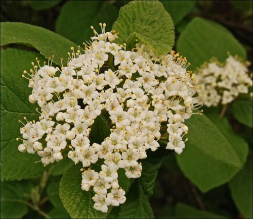 Common wild shrub with white flowers se mi z5 mightylinksfo
