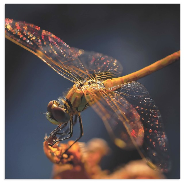 Dragonfly Wall Art U0027Golden Dragonflyu0027, Nature Photography On Metal  Contemporary Photographs