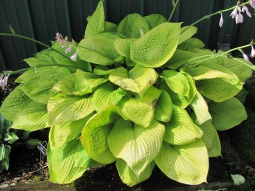 2004 Hosta Of The Year Sum And Substance