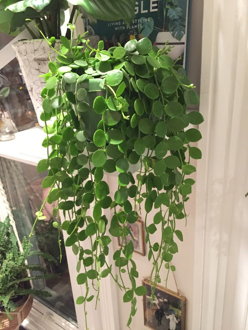 Unknown indoor hanging plants. Please help identify