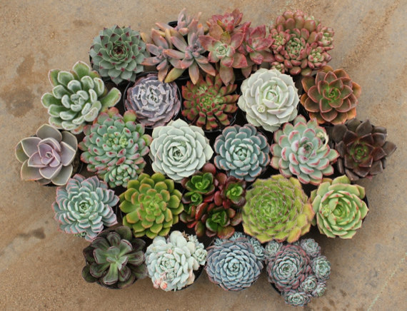 Assorted Succulents in 2-1/2-inch Round Containers by San Pedro Cactus