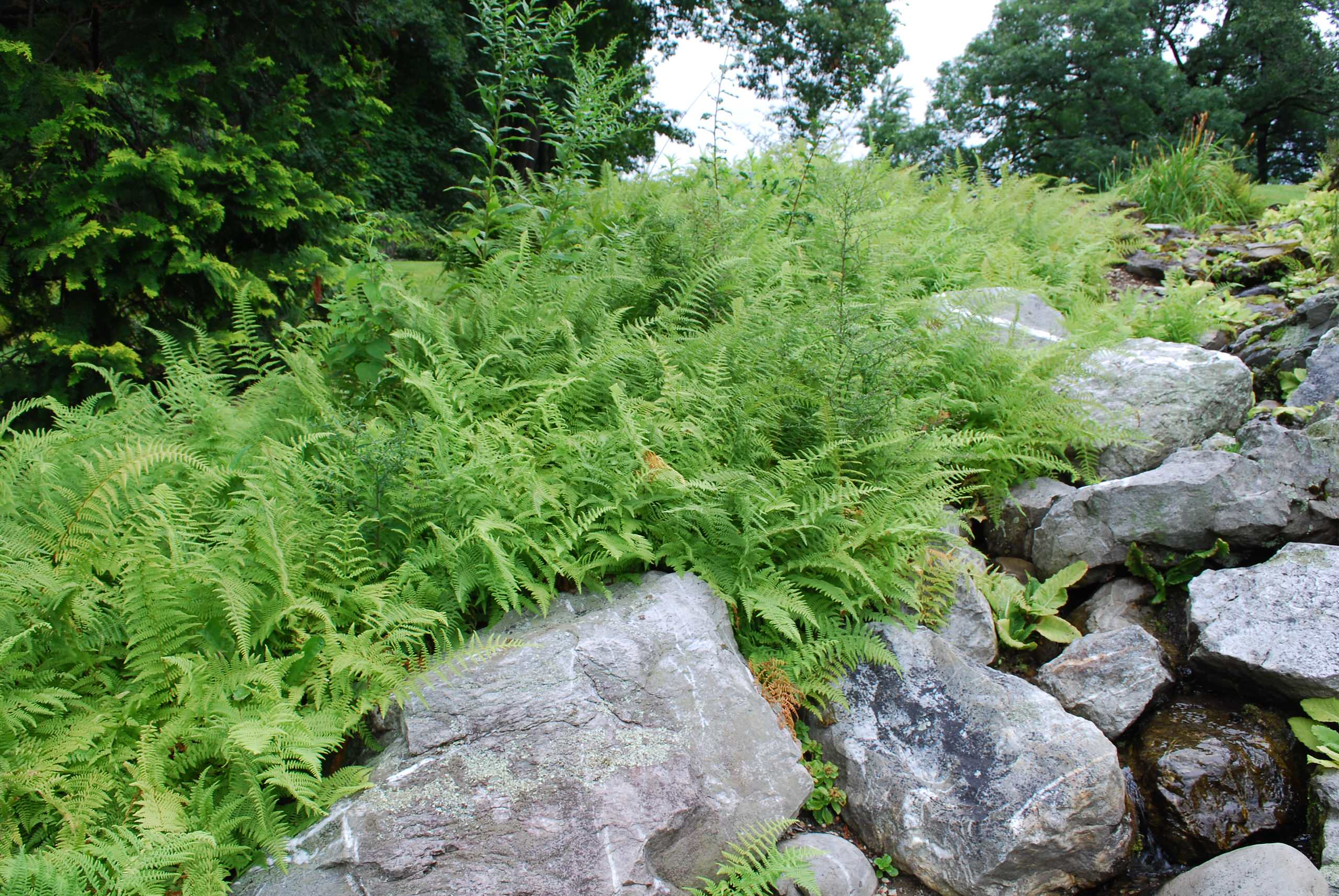 Hayscented Ferns and Boulders at Innisfree, NY