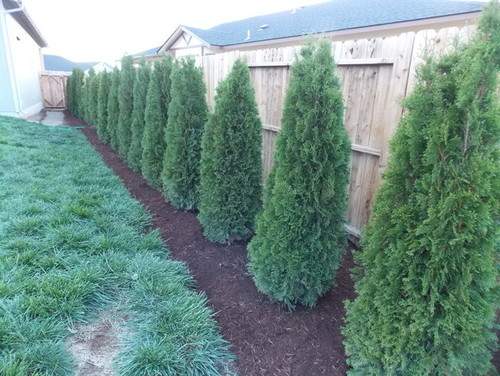 Will this Emerald Green Arborvitae ever look good again?